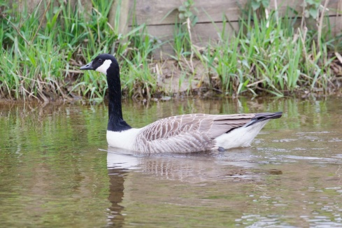 Goose.  At Kitley.